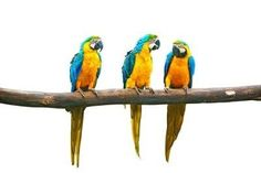 Naklejka na Ścianę Gadające papugi Blue-and-żółty ara
