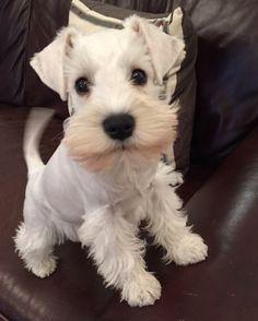 A white schnauzer puppy Link: https://www.sunfrog.com/search/?64708&search=schnauzer&cID=62&schTrmFilter=sales