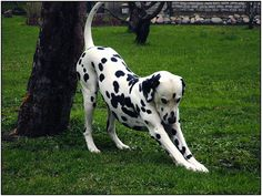 #Dalmatian #dog exercising