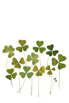 redwood sorrel | STILL (mary jo hoffman)