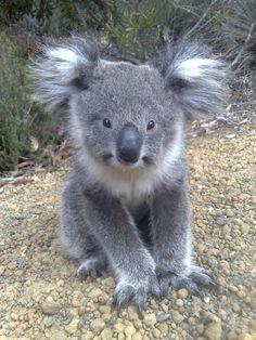 Love koala face.