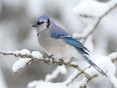Blue Jays.. Jaie Bleu