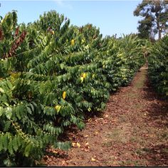 Walking in a kona coffee field.