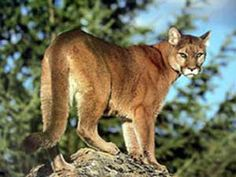 The Mountain Lion - We had one who would come and look in our patio window at our dog a couple of times each year, while we lived in Northern California.