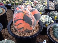 Astrophytum myriostigma variegata - Tiger cacti! Amazing!