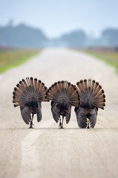 three determined amigos . a certain holiday is coming . ditchin' early . gettin' outta town . won't be distracted deterred or dissuaded . wild turkeys #thanksgiving