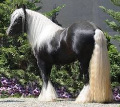 Beautiful Black/Silver Dapple Gypsy. This horse is simply gorgeous!