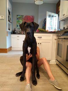 Great Dane Puppy http://ift.tt/2cCgSKR