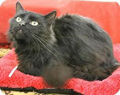 Blackwood, NJ - Maine Coon. Meet Rio a Cat for Adoption.