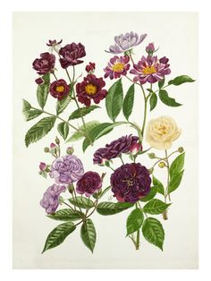 Botanical Illustration Posters at AllPosters.com