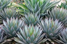 Succulent Gardens Agave Blue Flame' and Agave 'Blue Glow'