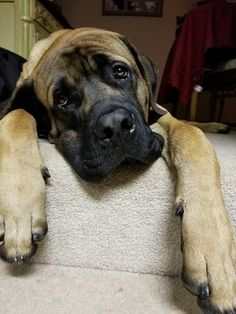 Our English Mastiff, Samson. 9 months old.