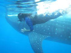 Tiburón ballena, Mar Caribe