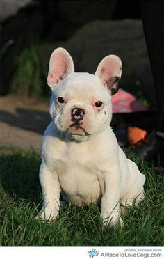 Show me another great post » Darwin, French Bulldog