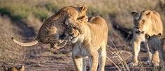 © Marja Schwartz / National Geographic Traveler Photo Contest Lion cub jumping on mother's head, Naboisho Conservancy, Masai Mara, Kenya, Africa. The Animals, Wild Animals, National Geographic Photo Contest, National Geographic Travel, Photos Du, Cool Photos, Lioness And Cubs, Private Safari, Le Clan