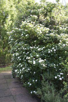 Viburnum tinus - plants for Scottish gardens - garden design edinburgh & scotland
