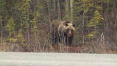 Erin Keith seen this Grizzly 1 mile before the Denali Park turn off. FDNM