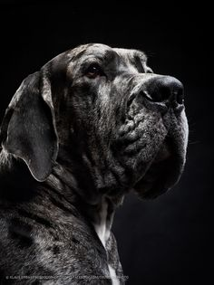 hermann the great dane dog by Klaus Dyba - Photo 69247163 - 500px