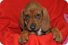 Treeing Walker Coonhound/Redbone Coonhound Mix Puppy for adoption in Richmond, Indiana - Charlie