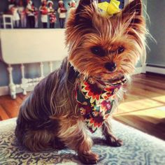 Do you like Yorkie Puppies? If you are, then you're probably planning on getting your own cute and adorable bundle of joy. If you are getting a Yorkie puppy, Yorkie Terrier, Terrier Breeds, Yorkie Puppy, Terrier Dogs, Chihuahua, All Small Dog Breeds, Small Dogs, Maltipoo, Yorkies