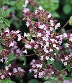 Oil of Oregano - Miracle Cure!
