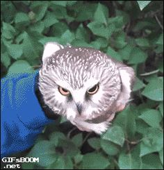 How do they do that?! Funny Owls, Cute Funny Animals, Funny Cute, Owl Gifs, Funny Animal Videos, Funny Animal Pictures, Cute Owl, Cute Birds, Beautiful Owl