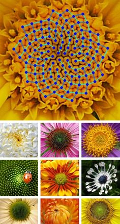"""The Fibonacci Sequence As Seen in Flowers"" gallery by Environmental Graffiti"