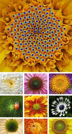 """"""" La Secuencia Espiral de  Fibonacci. Visto en Flores """" galería por Pintada Ambiental                                                                                                                                                                                 Más"""