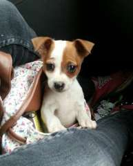 Tenterfield Dog For Sale