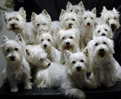 NOTHING BETTER THAN WESTIES!! (Another pic from our Westie Family) Diane's Westie's