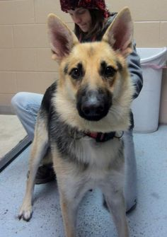 Meet Sable, a Petfinder adoptable German Shepherd Dog Dog | Denver, CO | You can fill out an adoption application online on our official website.Although we do our best to...