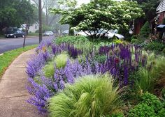 border in Thomas Rainer's garden, northern Virginia, May: Salvia, Nepeta, Nasella, ornamental Alliums. Kousa dogwood?   Look at cool-season native grasses to see if any share the frosty chartreuse effect of the Nassella here.
