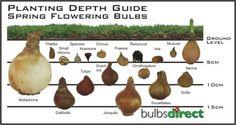 Bulb Planting Depth Guide