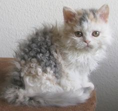 The Selkirk Rex is a breed of cat with highly curled hair.  http://en.wikipedia.org/wiki/Selkirk_Rex