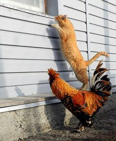 """Partners in Crime……CAT SAID:  """"I SEE A BOTTLE OF MILK ON THE TABLE""""  ROOSTER ASKS:  """"DO YOU SEE ANY EGGS(??)……..ccp"""