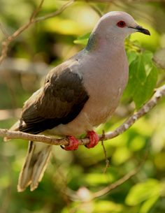 Jamaican ring-tailed pigeon