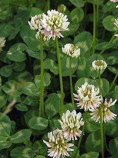 Valkoapila - Trifolium repens Clover Plant, Clover Flower, White Dutch Clover, Wildflower Tattoo, Dog Urine, Small Plants, Flowering Trees, Flower Tutorial, Animals
