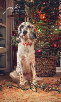 Naughty Christmas puppy. English Setter. Pouka Art & Photography. www.pouka.com