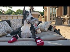 Happy Great Dane Plays with Squeaky Squirrel Toy - YouTube