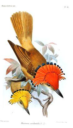 Pacific Royal Flycatcher (Onychorhynchus coronatus occidentalis)