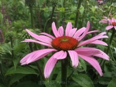 Echinacea purpurea 'Rubinstern' Ruby Star (purple coneflower)