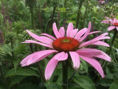Echinacea purpurea 'Rubinstern' Ruby Star (purple coneflower) Outdoor Gardens, Bloom, Gardening, Star, Purple, Plants, Summer, Summer Time, Gardens