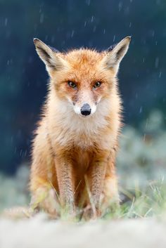 "I Can't Stand the Rain - Foxy in a quite heavy Rain Shower ;) Oh and check out my new <a href=""www.roeselienraimond.com"">Website</a>, it's finally live! ;) <a href=""http://www.roeselienraimond.com"">roeselienraimond.com</a> 