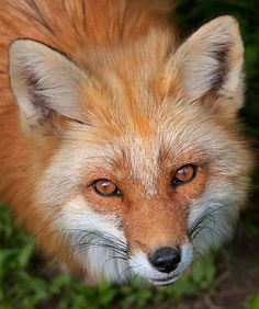 Red Fox  Photo by Jim Cumming on Flickr