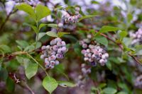 Garden experimenters devise method to grow blueberries in Houston area