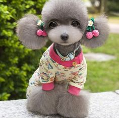 1000+ images about Toy Poodle Hairstyles on Pinterest ...