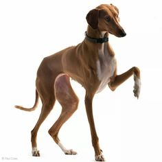 Prancing Greyhound
