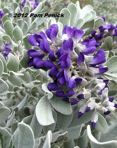 Plant This: Silver Peso Texas mountain laurel shines in spring | Digging