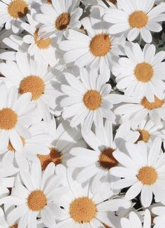 White daisies and yellow centers