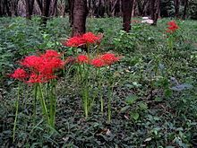 Lycoris radiata, red spider lily, filtered sunlight, plant late spring and early fall